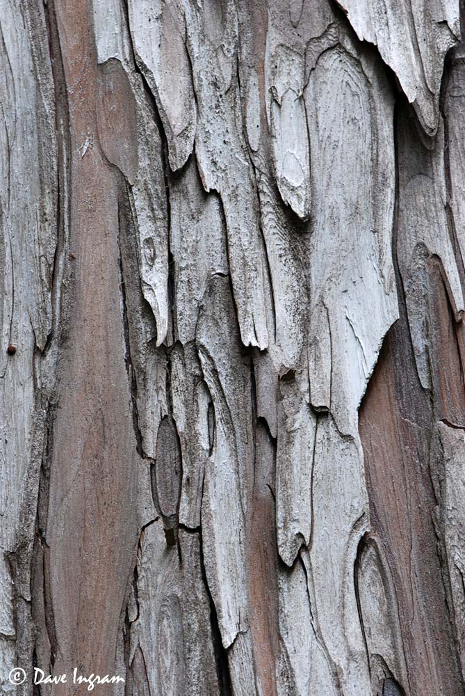 Yellow-cedar (Chamaecyparis nootkatensis) Bark