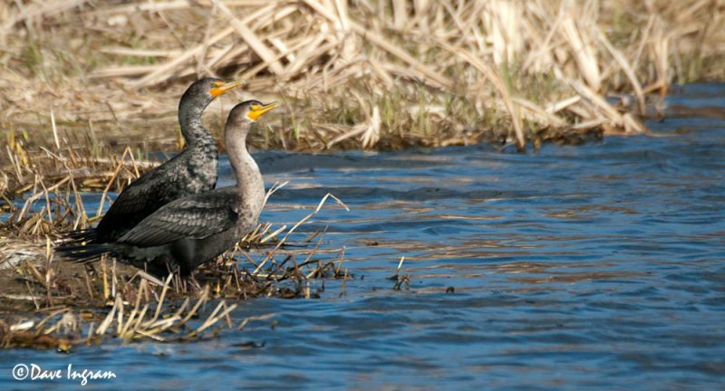 Double-crested Cormorants (Phalacrocorax auritus)
