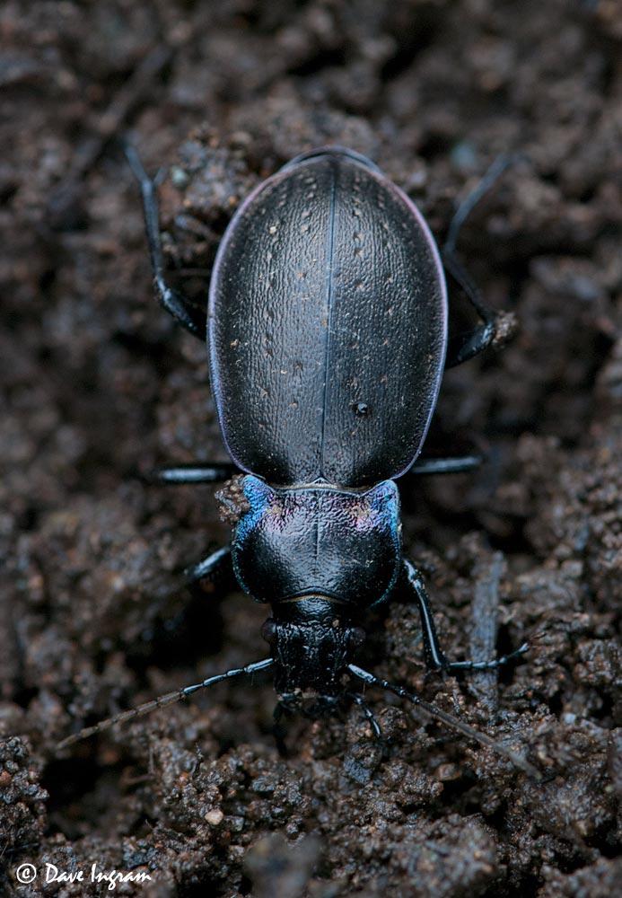 European Ground Beetle (Carabus nemoralis)