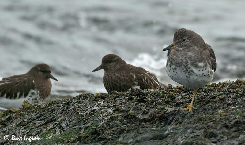 Surfbird (Aphriza virgata) and Black Turnstone (Arenaria melanocephala)