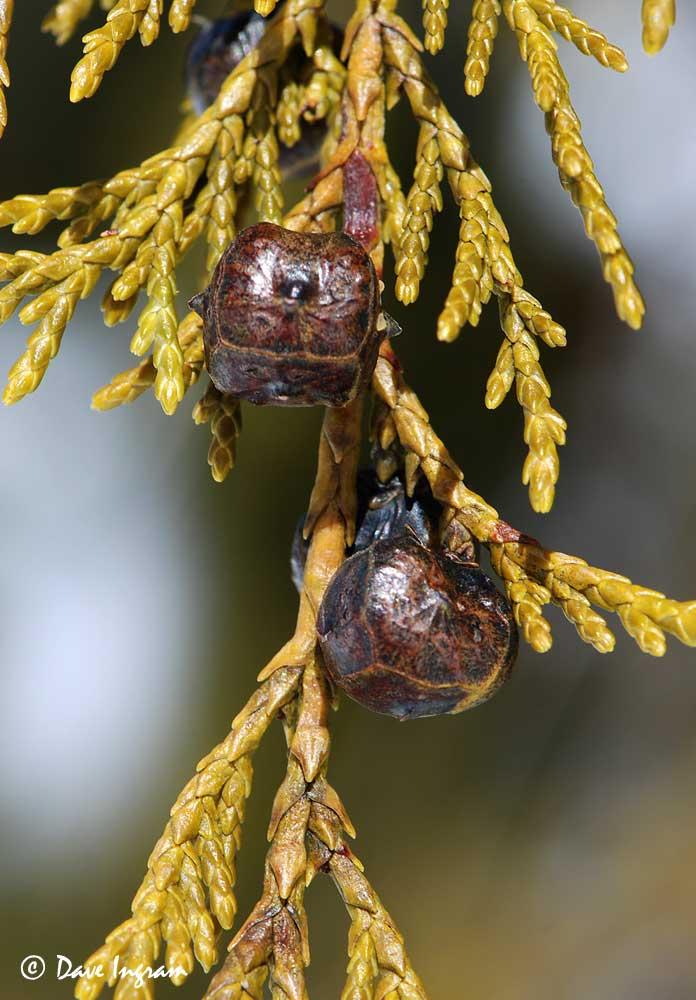 Yellow-cedar (Chamaecyparis nootkatensis) Cones