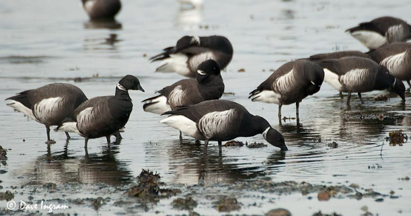 Brant Geese Feeding