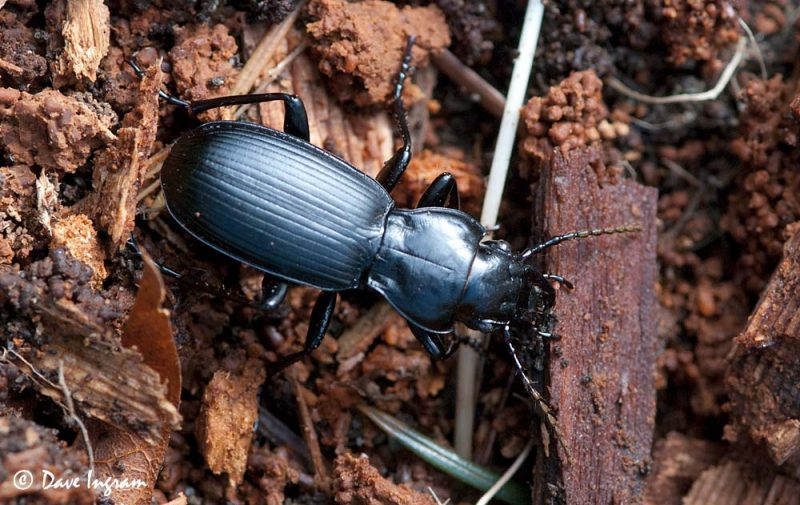 Ground Beetle (Pterostichus sp.)