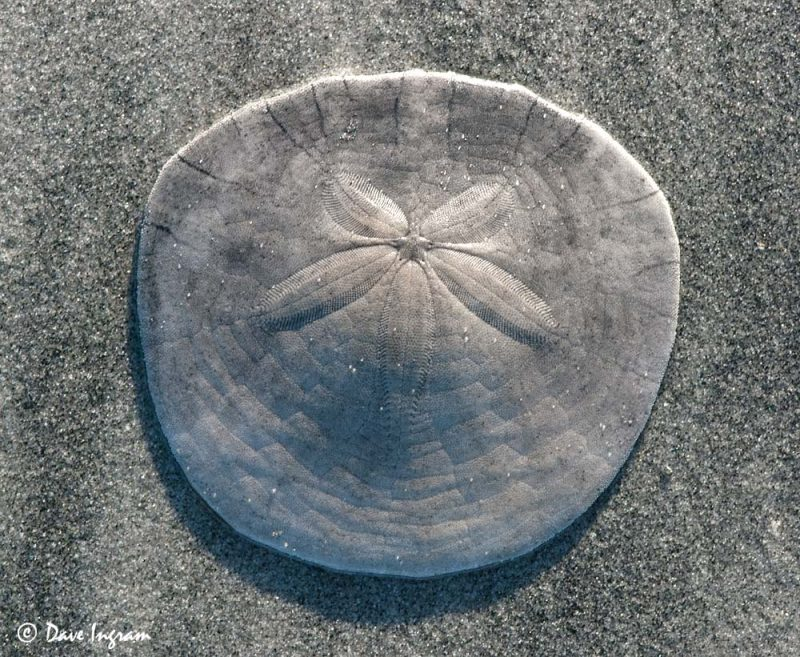 Eccentric Sand Dollar (Dendraster excentricus) Test (top side)