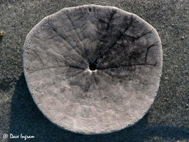 Eccentric Sand Dollar (Dendraster excentricus) Test (underside)