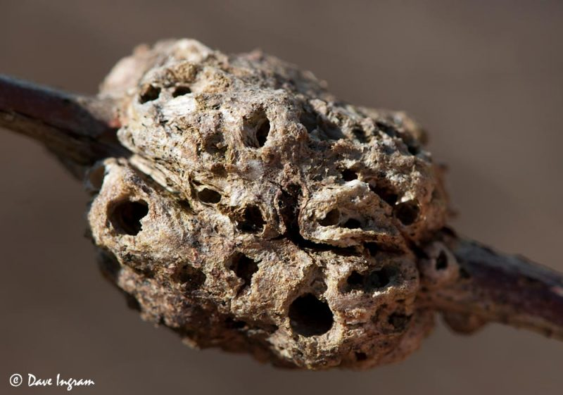Old Wasp Gall
