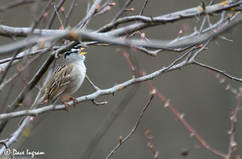 White-crowned Sparrow (Zonotrichia leucophrys) Singing