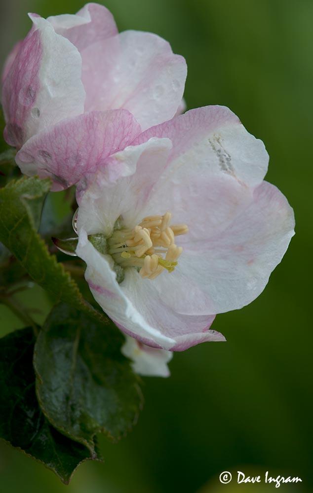 Apple Blossoms #2