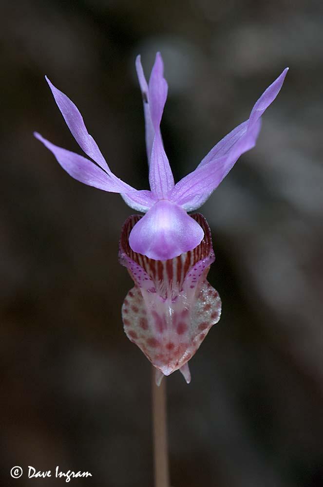 Fairyslipper (Calypso bulbosa)