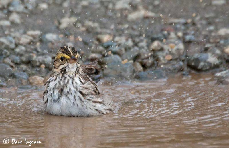 Savannah Sparrow (Passerculus sandwichensis) #2