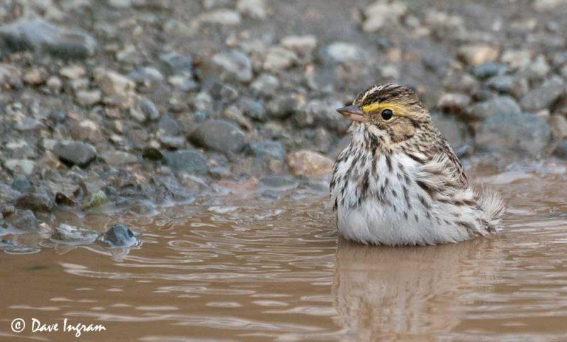 Savannah Sparrow (Passerculus sandwichensis) #3