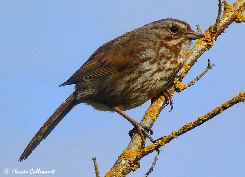 Song Sparrow (Melospiza melodia) #3 © Marcie Callewaert