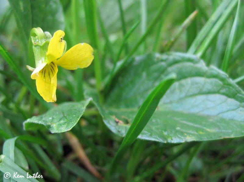 Yellow Montane Violet (Viola praemorsa)