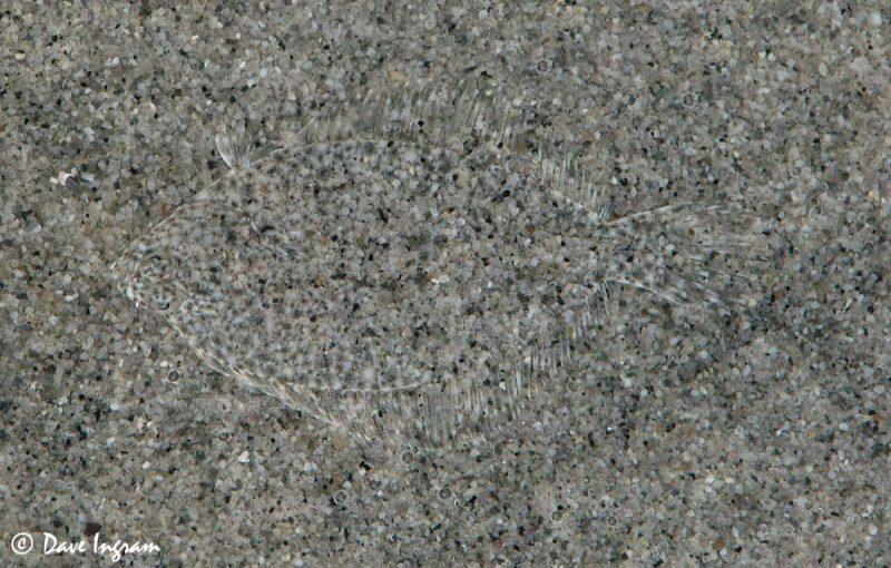 Sand Sole (Psettichthys melanosticus)