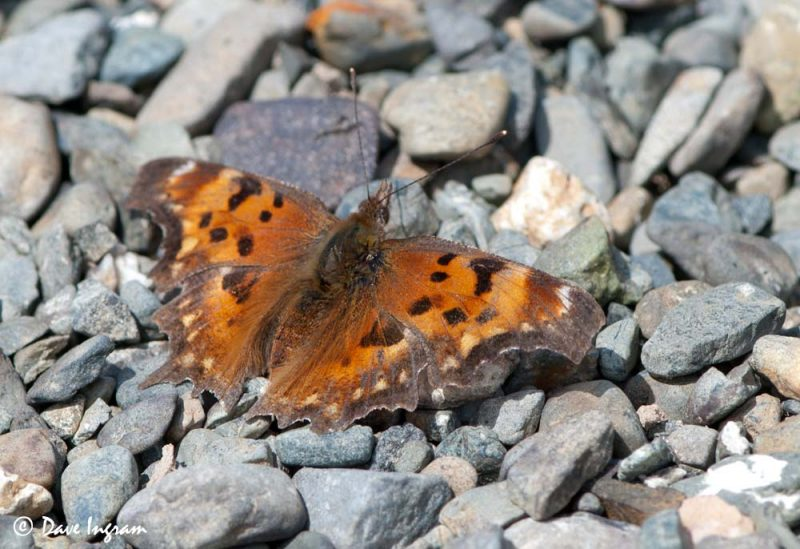 Zephyr Anglewing (Polygonia zephyrus) - Upper Wings