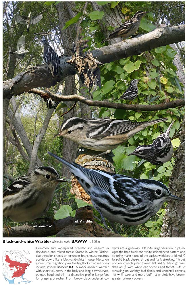 Black-and-white Warbler plate