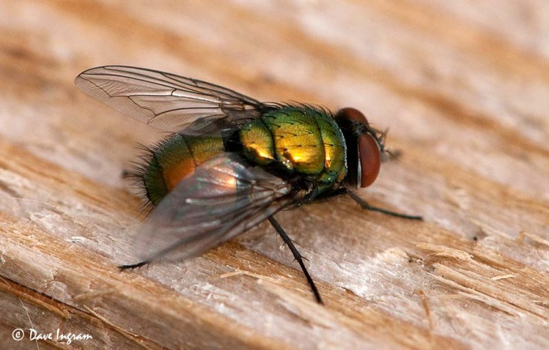 Green Bottle Fly (Lucilia illustris?)