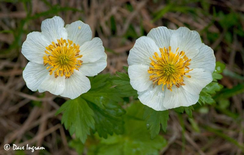 Globeflower (Trollius laxus)