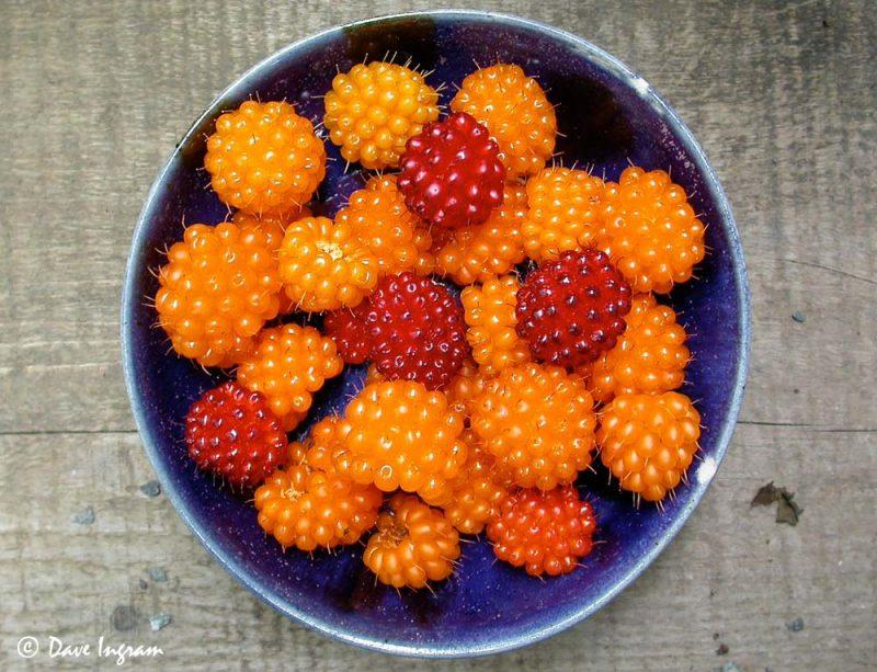 Bowl of Salmonberries (Rubus spectabilis)