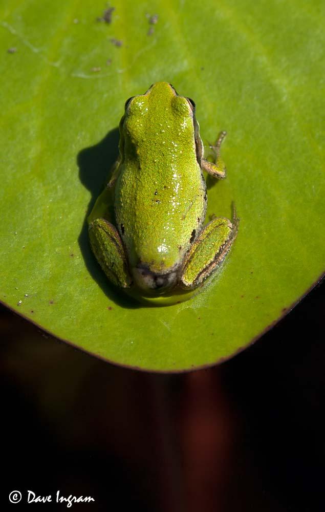 Pacific Tree Frog (Hyla regilla)