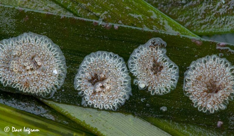 Eggs masses on Eelgrass (Zostera marina)