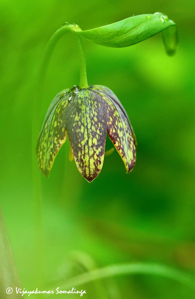Chocolate Lily (Fritillaria affinis)