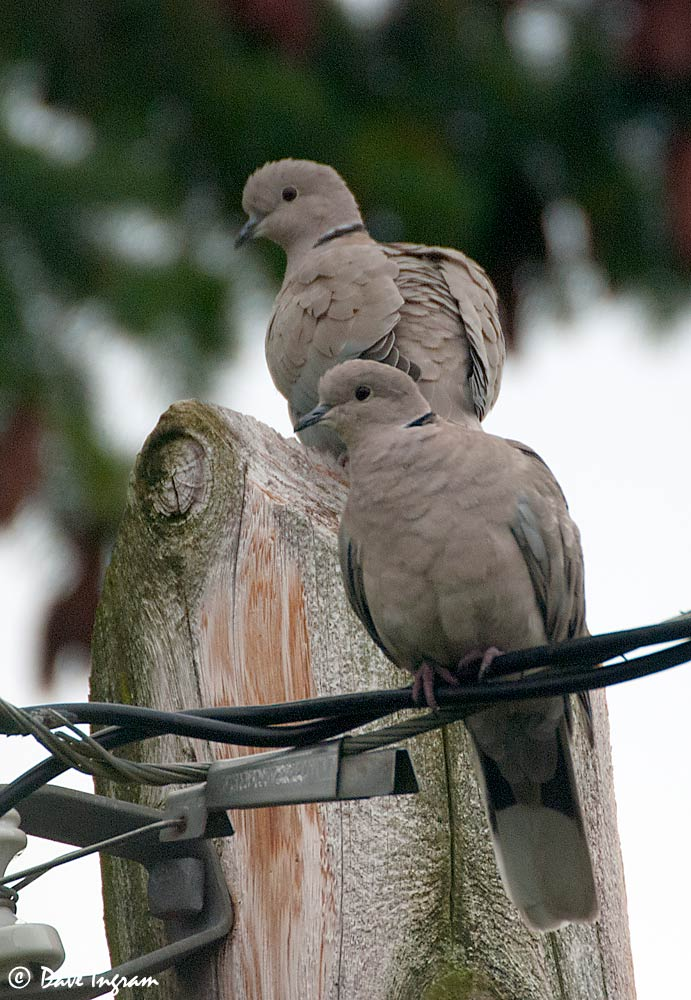 Eurasian Collared-Doves (Streptopelia decaocto)