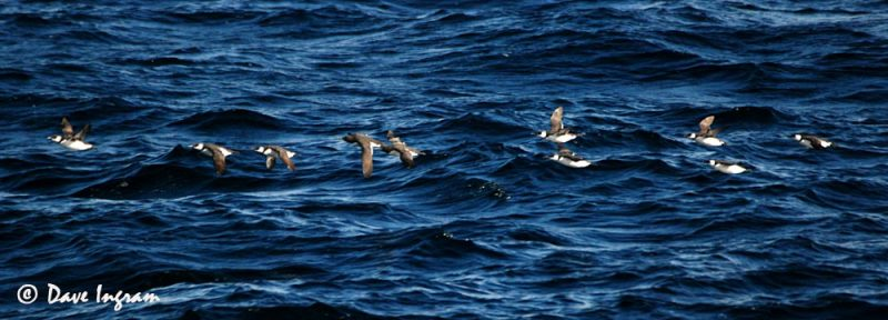 Common Murres (Uria aalge) in flight