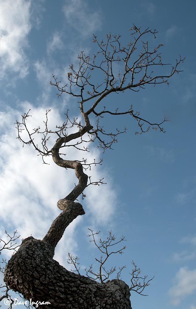 Garry Oak (Quercus garryana)