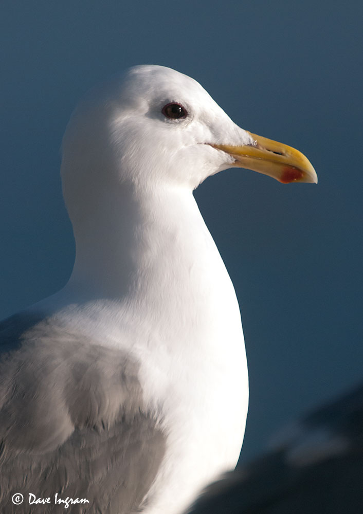 Glaucous-winged Gull (Larus glaucescens) #2