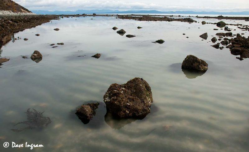 Pacific Herring (Clupea pallasi) Milt