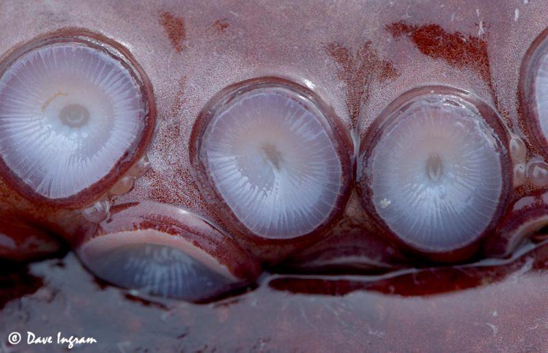 Pacific Octopus