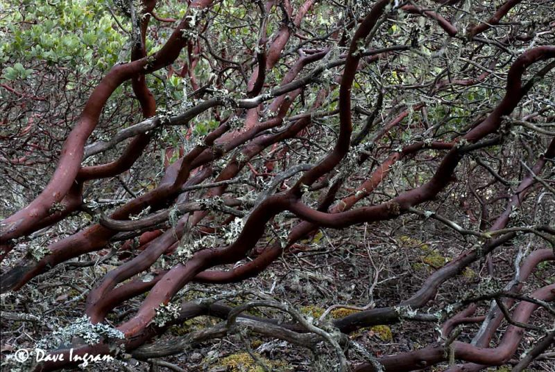 Hairy Manzanita (Arctostaphylos columbiana)