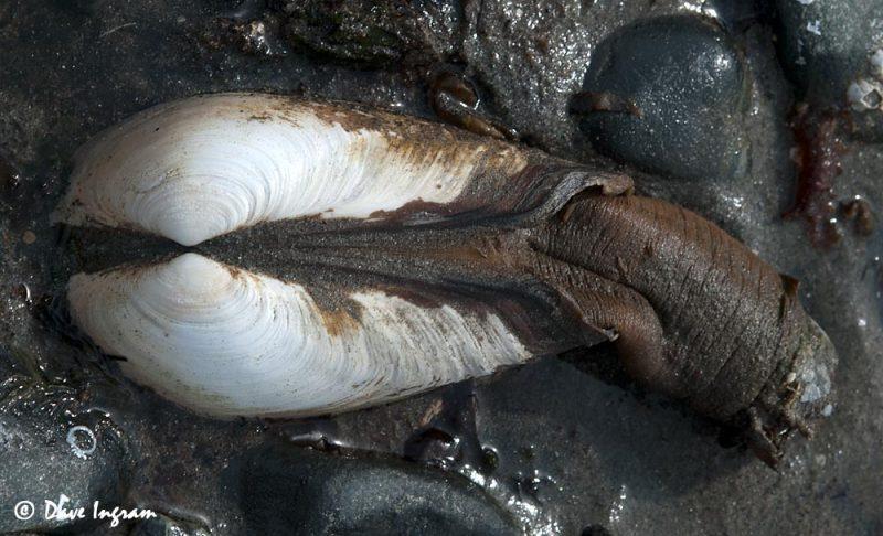 Pacific gaper (Tresus nuttallii)