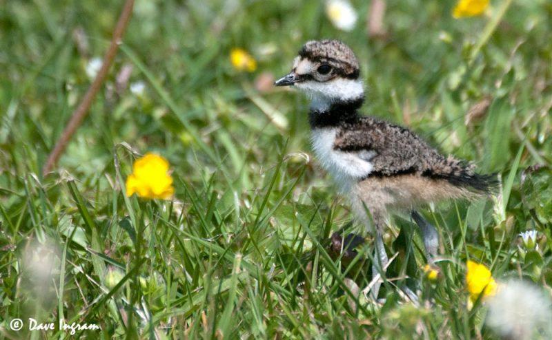 Killdeer (Charadrius vociferus) Chick