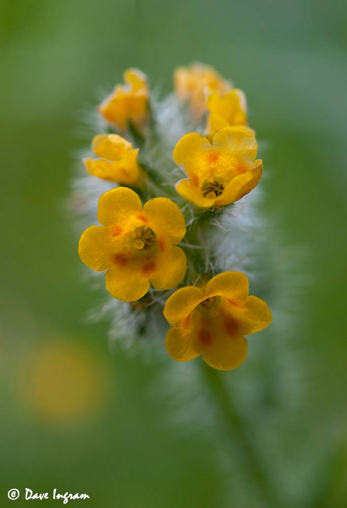 Seaside Fiddleneck (Amsinckia spectabilis)