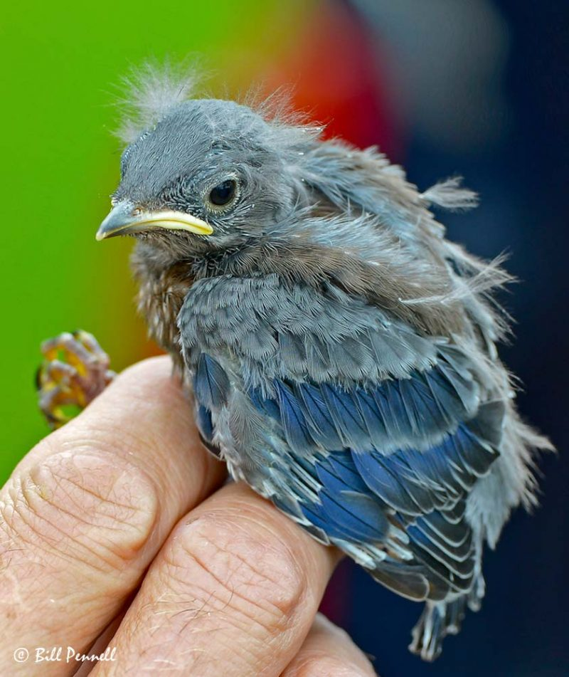 Western Bluebird (Sialia mexicana) Nestling