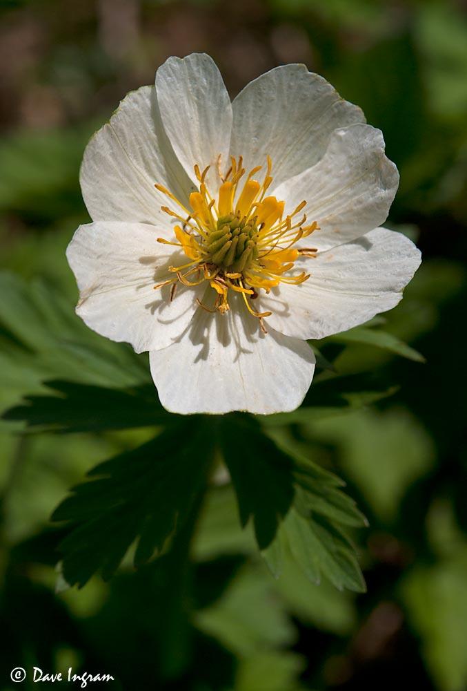 Globeflower (Trollius albiforus)