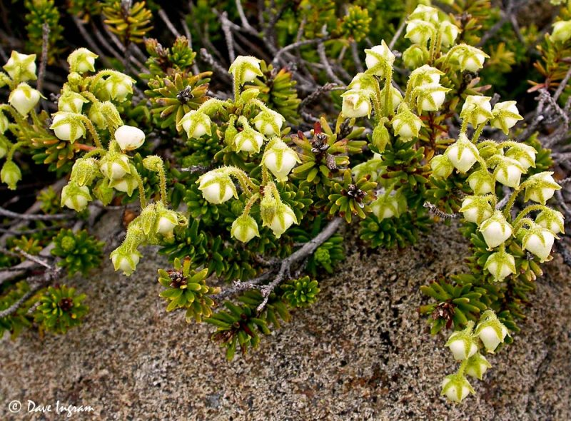 Yellow mountain-heather (Phyllodoce glanduliflora)