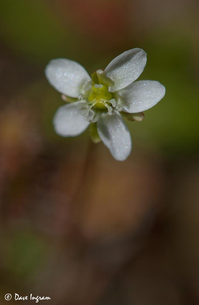 Great Sundew (Drosera anglica) Flower