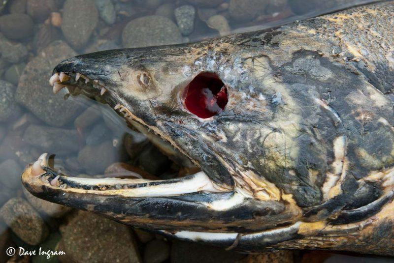 Chum Salmon (Oncorhynchus keta) Head