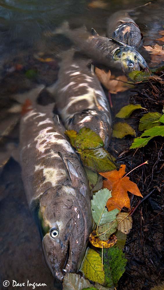 Chum Salmon (Oncorhynchus keta) and Fall Leaves