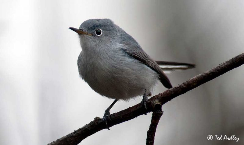 Blue-gray Gnatcatcher (Polioptila caerulea) © Ted Ardley