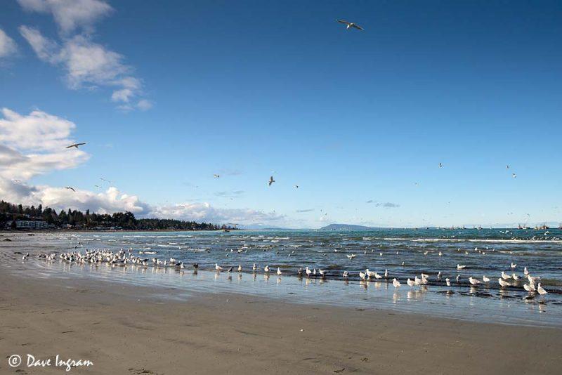 Gulls at Qualicum Beach