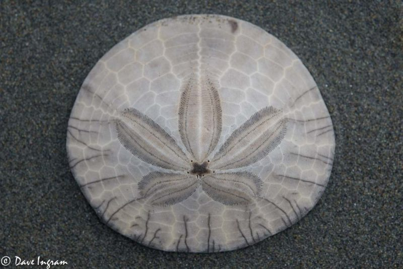 Eccentric Sand Dollar (Dendraster excentricus)