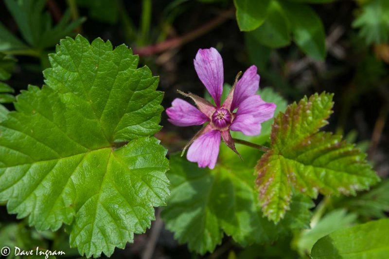 Dwarf Nagoonberry (Rubus arcticus)