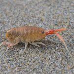 California beach hopper (Megalorchestia californiana)
