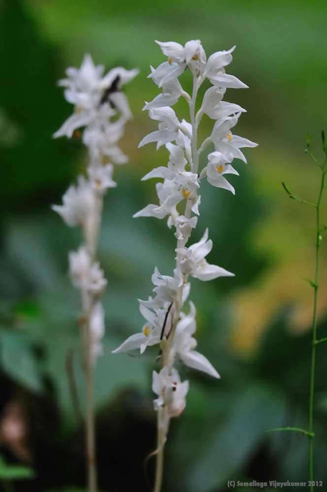 Phantom orchid (Cephalanthera austiniae)