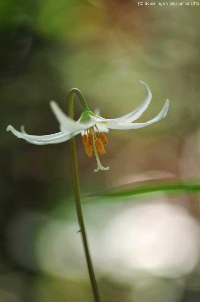 White Fawn Lily (Erythronium oregonum)