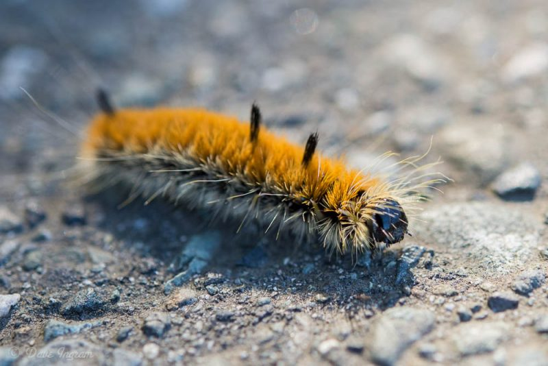 Fingered Dagger Moth (Acronicta hesperida)